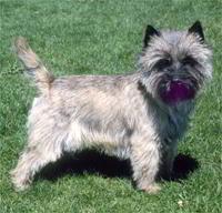 Raza de Perro: Cairn Terrier