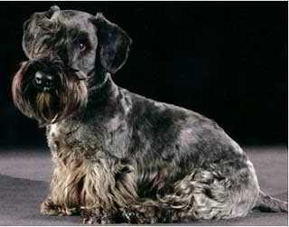 Raza Terrier Cesky