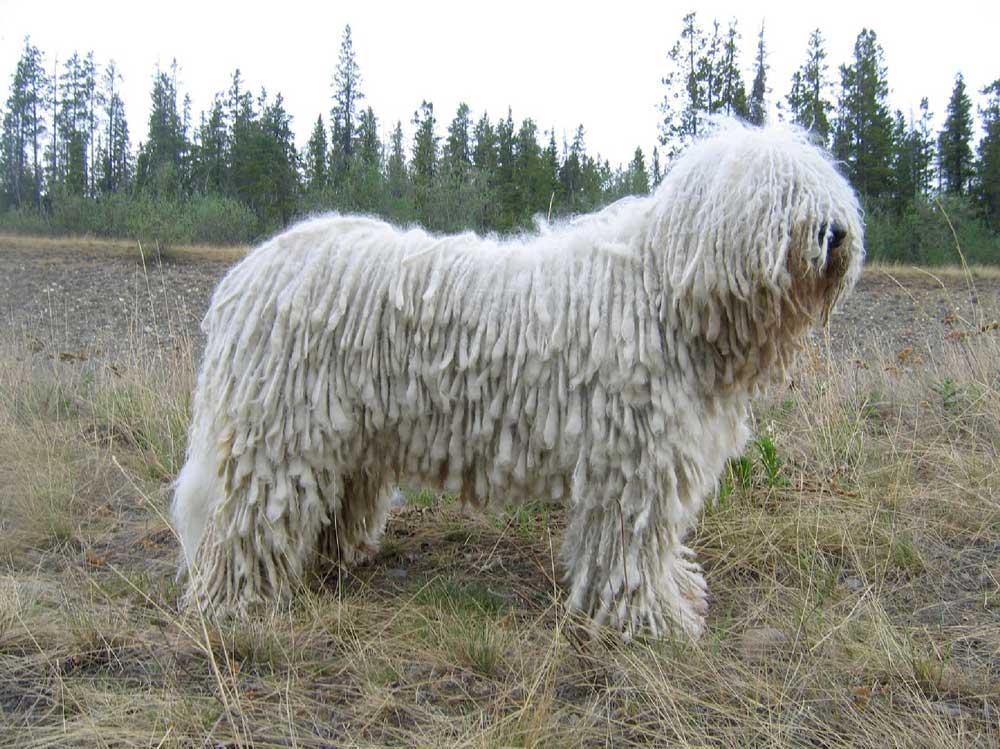 Raza de perro Komondor