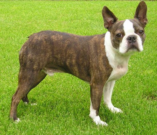 Boston Terrier - planetaperro