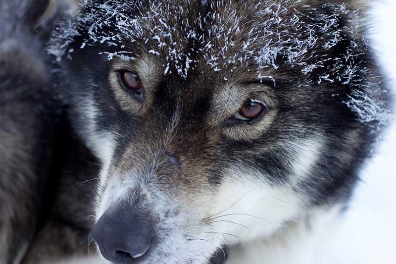 Entrenar un perro nordico