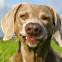 Por qué comen tierra y hierba los perros
