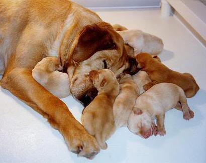 Camadas de perros