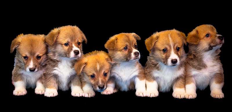 camada de perros