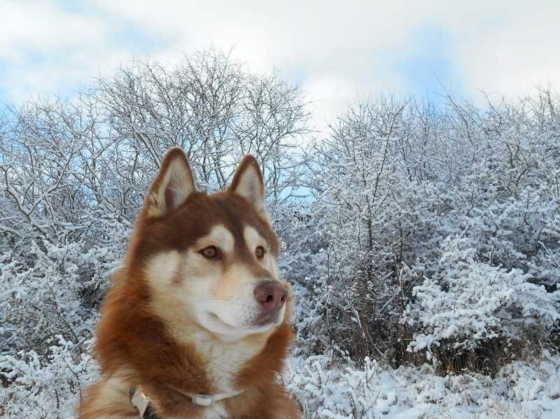 perro siberiano