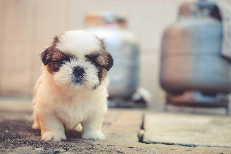 perros miniatura