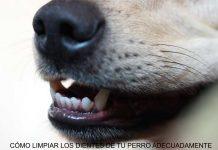 Cómo limpiar los dientes de tu perro adecuadamente