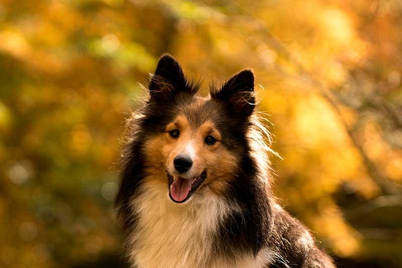 collie perros ideales para niños
