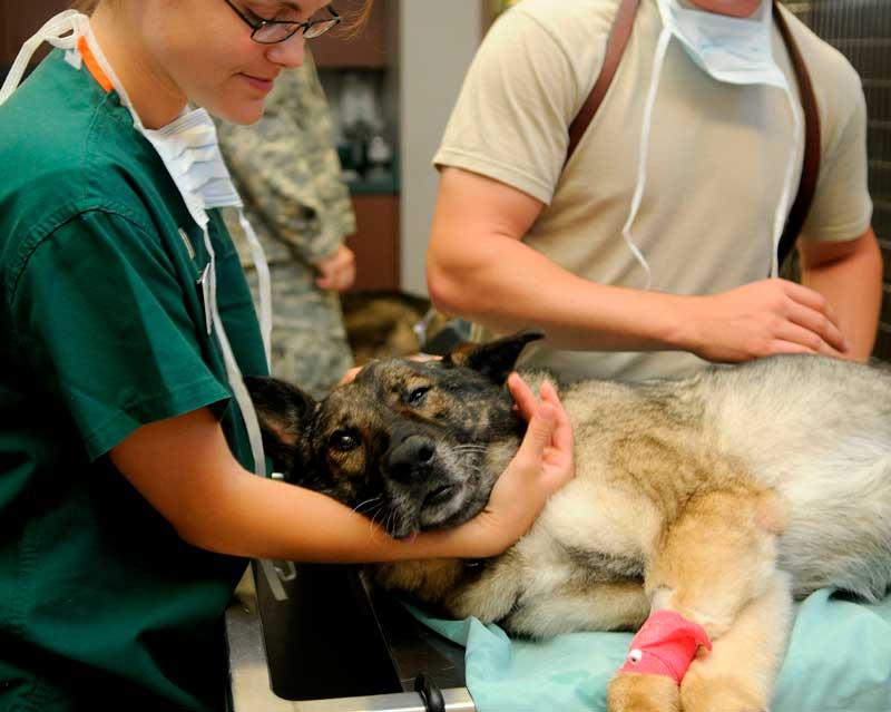 leishmaniosis en el perro