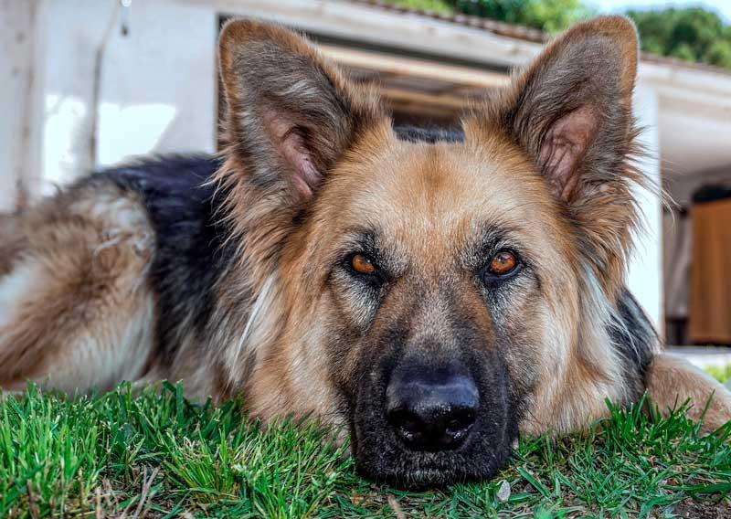 pastor aleman perro ideal para niños