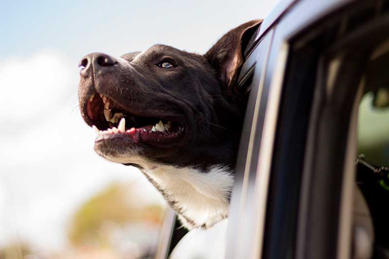 llevar al perro en el coche