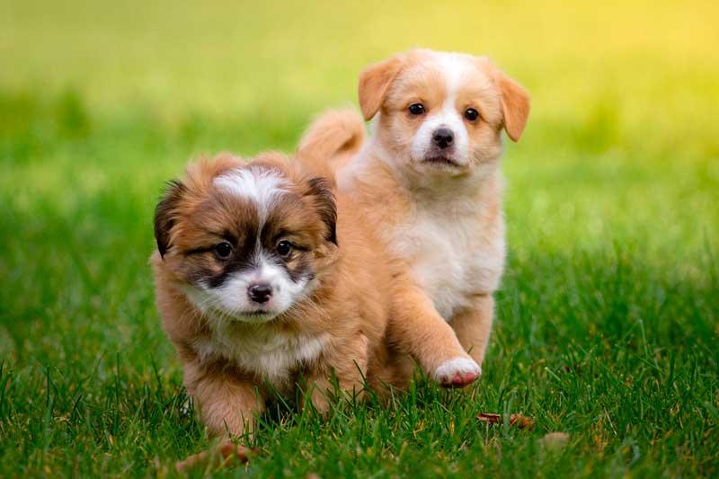 pipi en cachorros