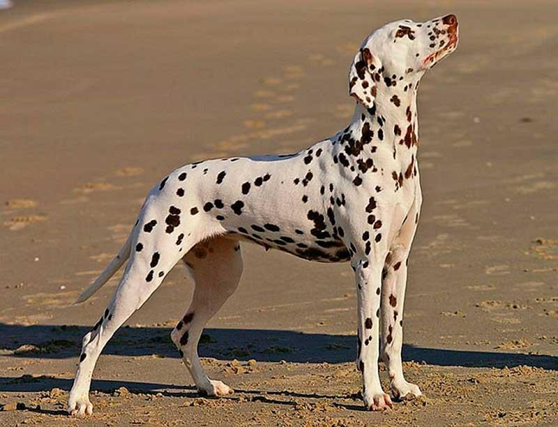 dalmata perros