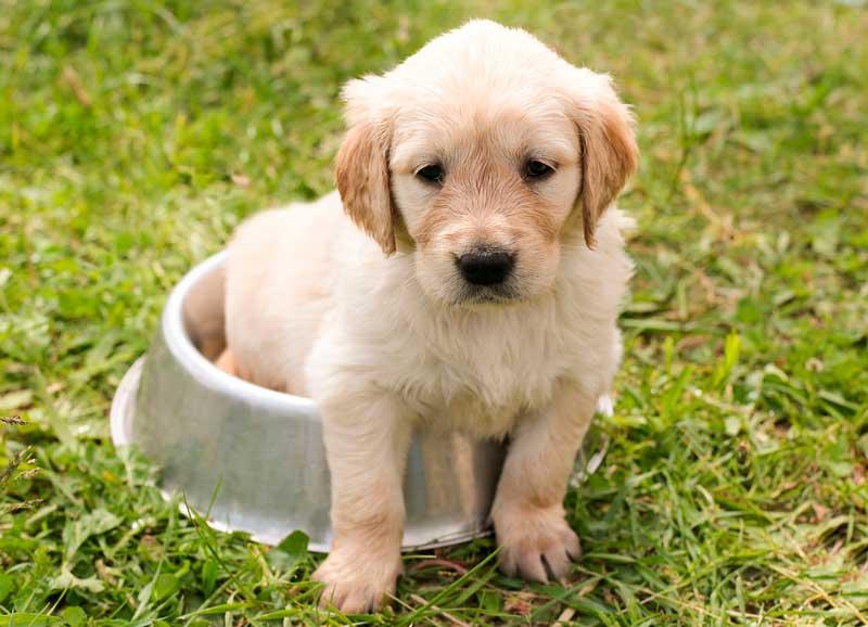 Cómo enseñar a un cachorro a hacer sus necesidades