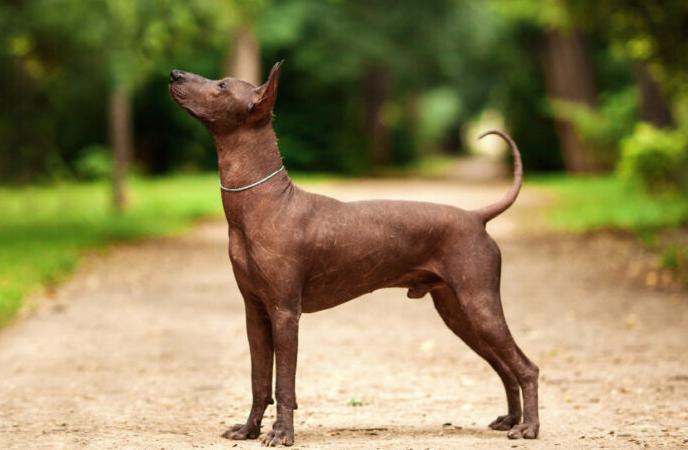 El Xoloitzcuintli, el perro que acompañaba a los aztecas
