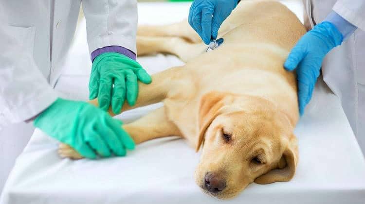 ¿Cómo prevenir enfermedades mortales en los perros?