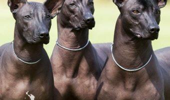 conoce al perro Xoloitzcuintli, un perro ancestral