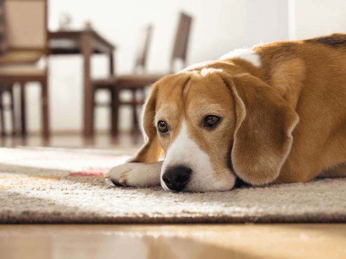 Cuidados que necesita un perro que se queda solo en casa