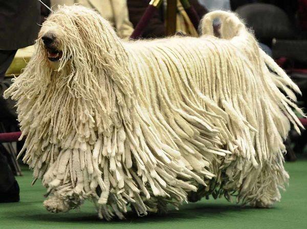 Qué raza de perros tiene el pelo más largo