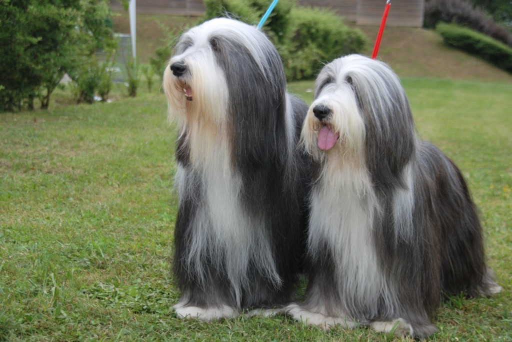 ¿Cuáles son las mejores razas de perros con pelo largo?