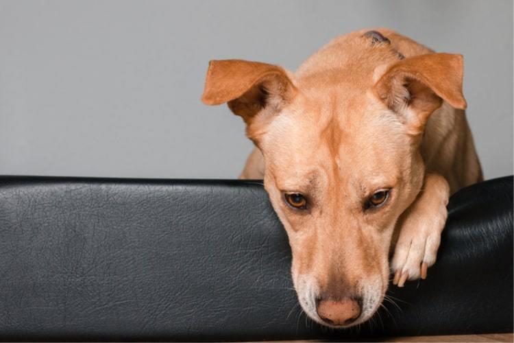¿Cómo tratar el vómito en los perros?