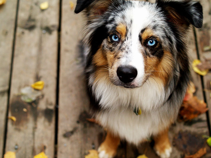 ¿Qué causa los ojos azules en perros?