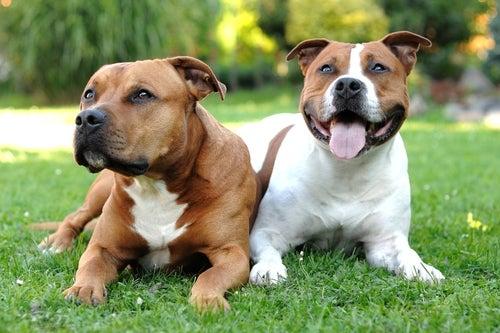 perros que son iguales al pitbull