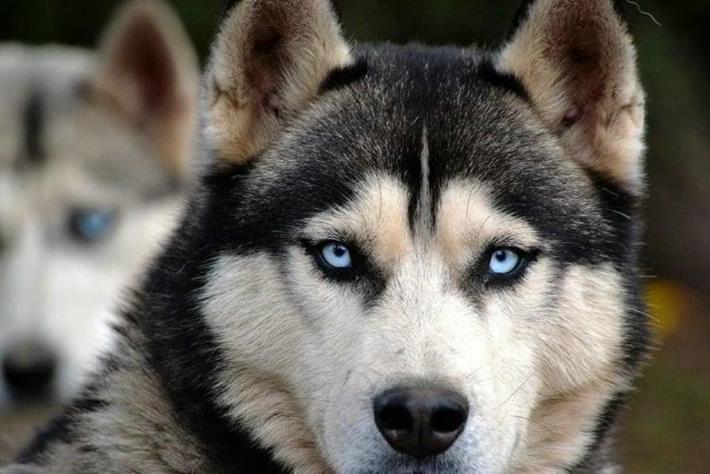 Las mejores razas de perros con ojos azules