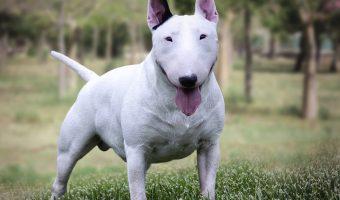 Bull Terrier Miniatura - Características y cuidados