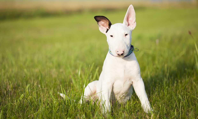 Bull Terrier Miniatura - Temperamento