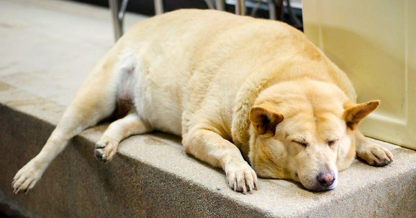 Perros con obesidad
