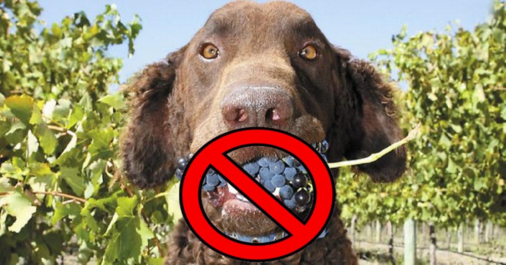 ¿Por qué las uvas son malas para los perros?