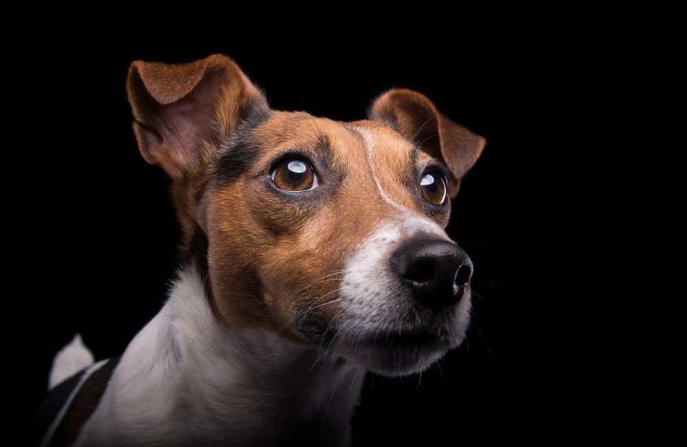 ¿Cómo usan los 5 sentidos los perros?